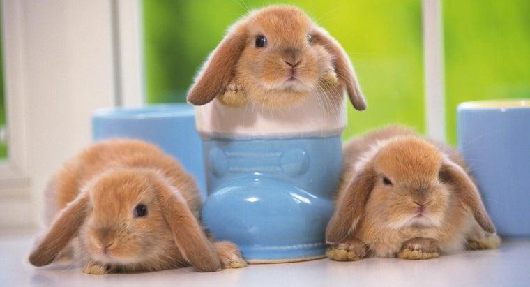 can-buy-baby-mini-lop-bunnies