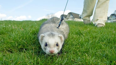 Where Can I Buy a Ferret Online?
