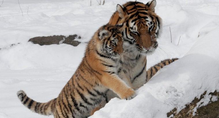can-buy-tiger-club