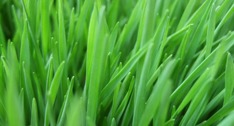can-buy-wheatgrass
