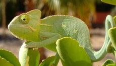 Can Chameleons Eat Fruits?
