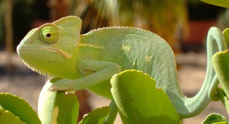 can-chameleons-eat-fruits
