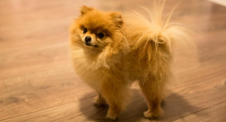 Where Can You Find Cheap Teacup Pomeranian Puppies for Sale Online