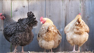Can Chickens Lay Eggs Without a Rooster?