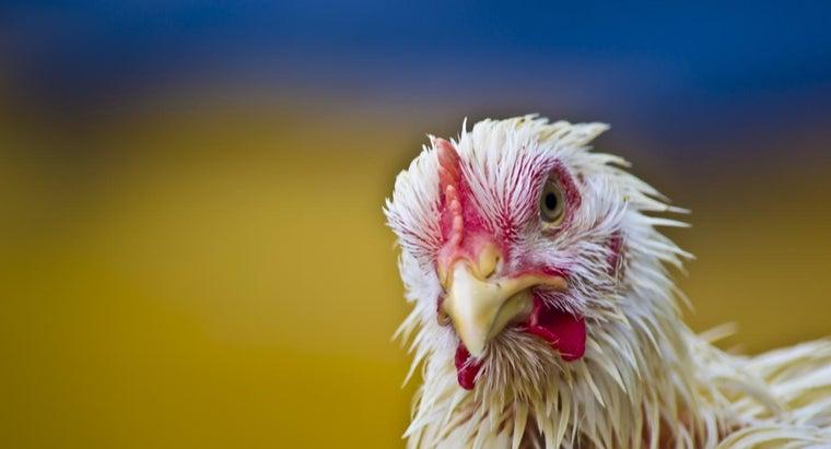 can-chickens-swim