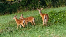 Can Deer Have More Than One Baby?