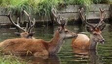 Can Deer Swim?