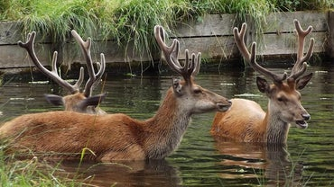 Can Deer Swim?