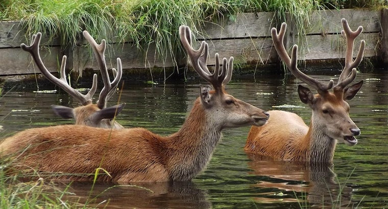 can-deer-swim