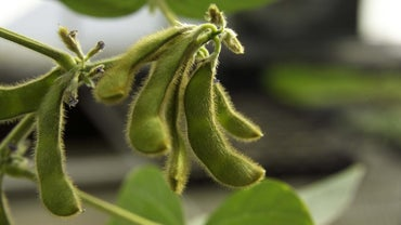 Can Dogs Eat Soybeans?