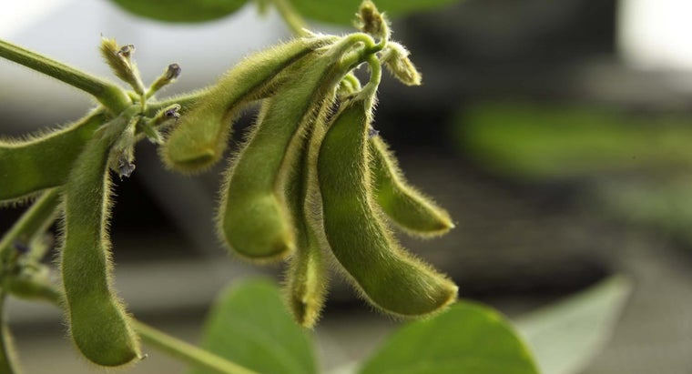 can-dogs-eat-soybeans