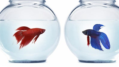 Can Female Betta Fish Live Together?