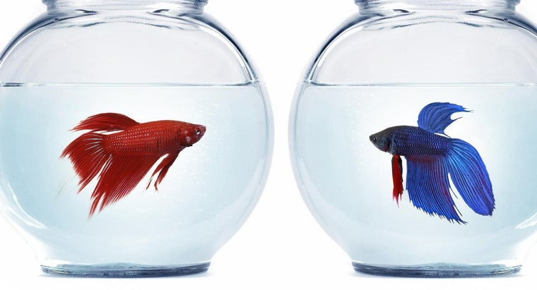 can-female-betta-fish-live-together