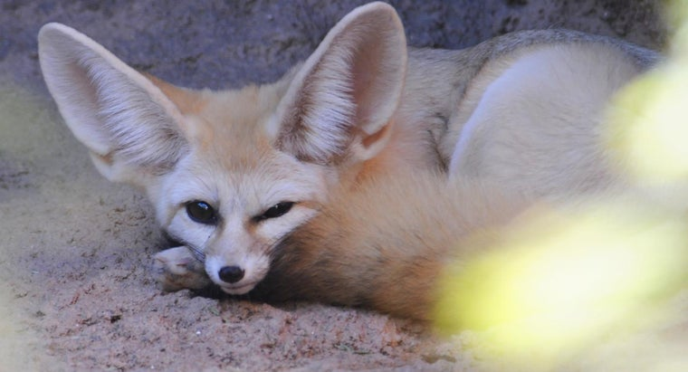 can-fennec-foxes-adoption