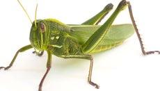 Can a Grasshopper's Legs Grow Back?