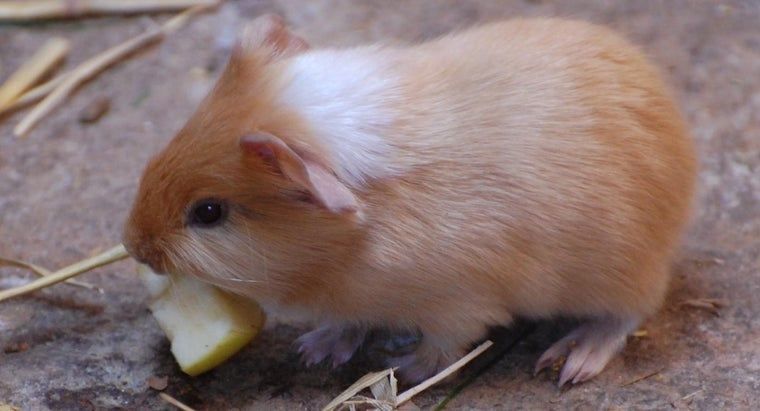 can-guinea-pig-eat