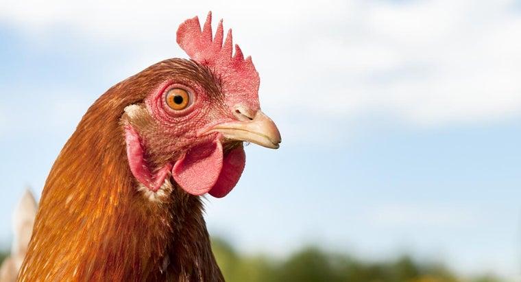 can-hypnotize-chicken