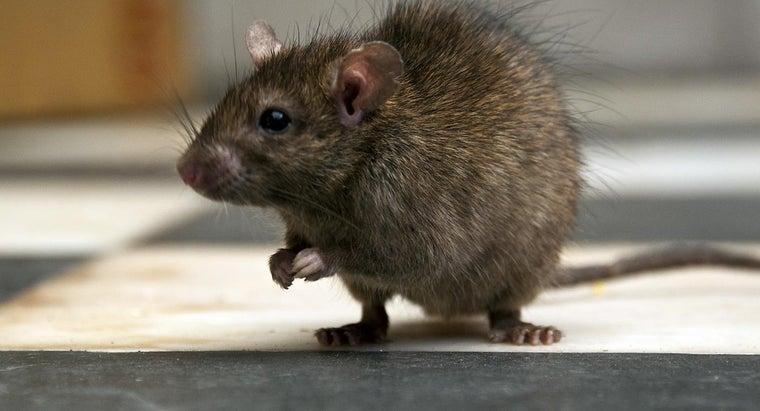 can-rabies-rat-bite