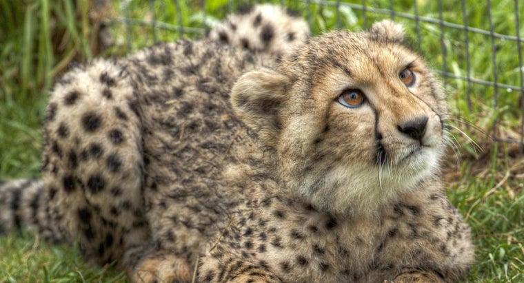 can-keep-cheetah-pet
