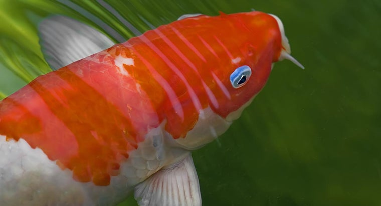 can-keep-koi-fish-tank