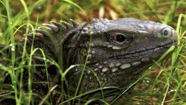 Can You Keep a Komodo Dragon As a Pet?