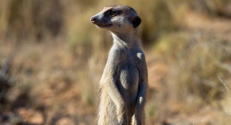 can-keep-meerkat-pet