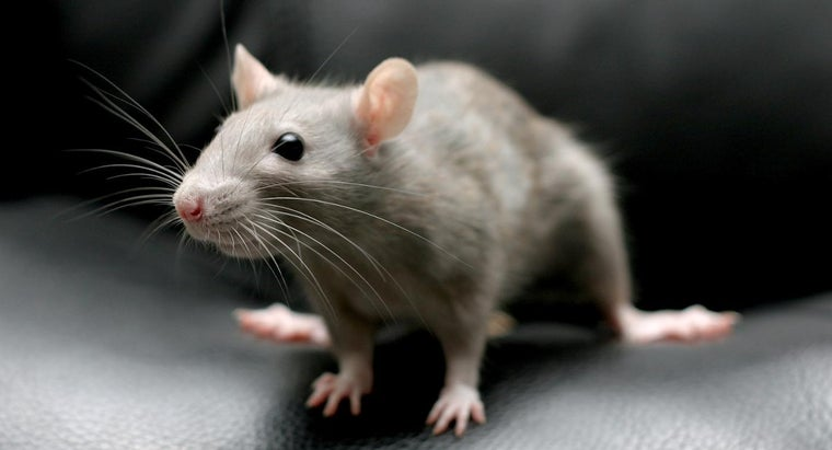 Can You Kill Rats With Baking Soda? | Reference com