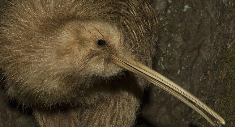 can-kiwi-bird-fly