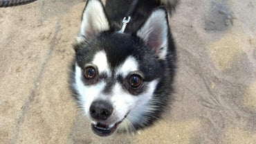Where Can You Find Klee Kai Breeders?