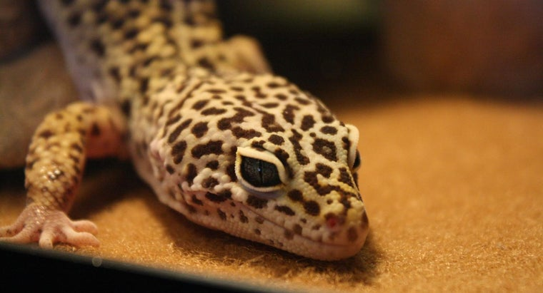 can-leopard-geckos-eat-fruit
