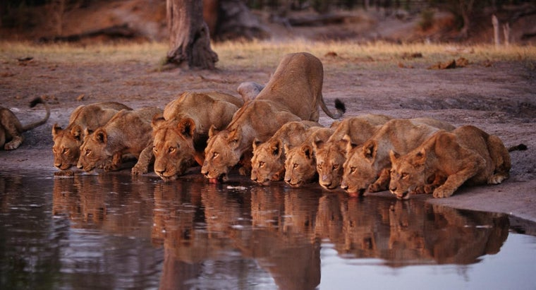 can-lions-swim