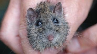 Can Mice Climb Walls?