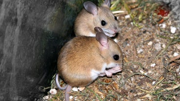 Can Mice See in the Dark?