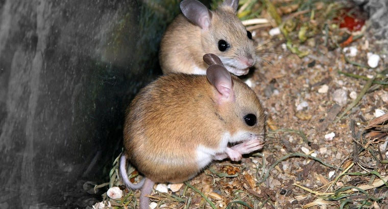can-mice-see-dark