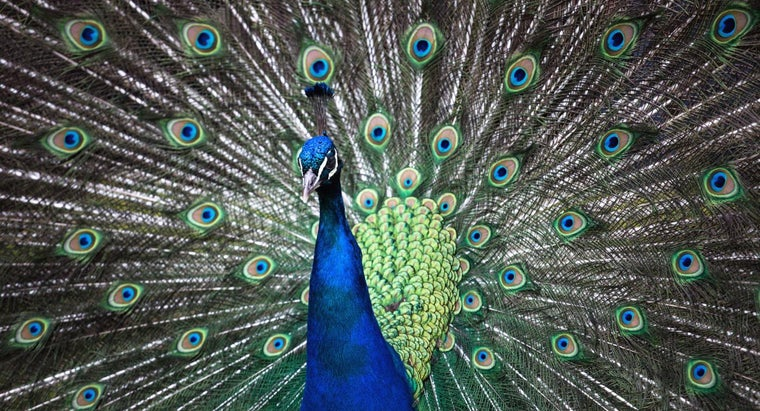 can-peacocks-fly