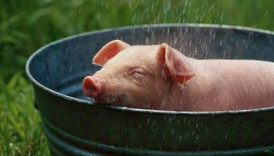 Can Pigs Swim?