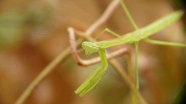 Can a Praying Mantis Be Kept As a Pet?