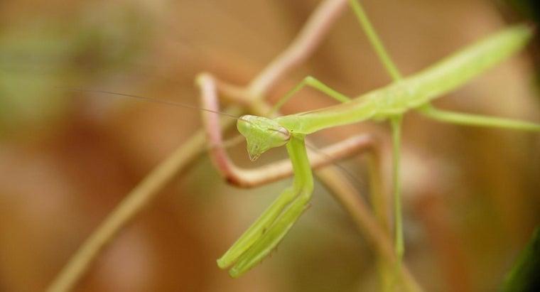 can-praying-mantis-kept-pet