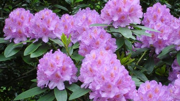 Can You Prune Rhododendrons in the Fall?
