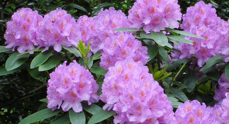 can-prune-rhododendrons-fall