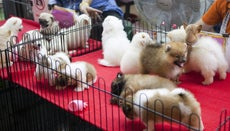 How Can You Find a Puppy for Sale in Your Area?