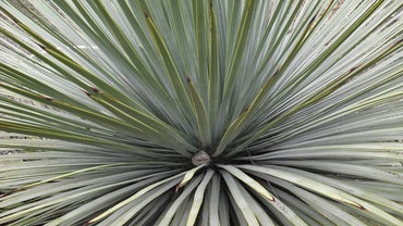 Can You Split a Yucca Plant?