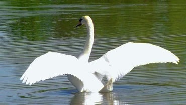 Can Swans Fly?