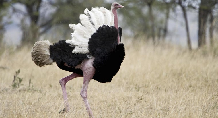 can-t-ostriches-fly
