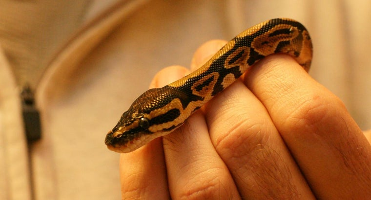 can-tell-ball-python-male-female