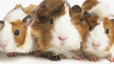 How Can You Tell If a Guinea Pig Is a Boy or a Girl?