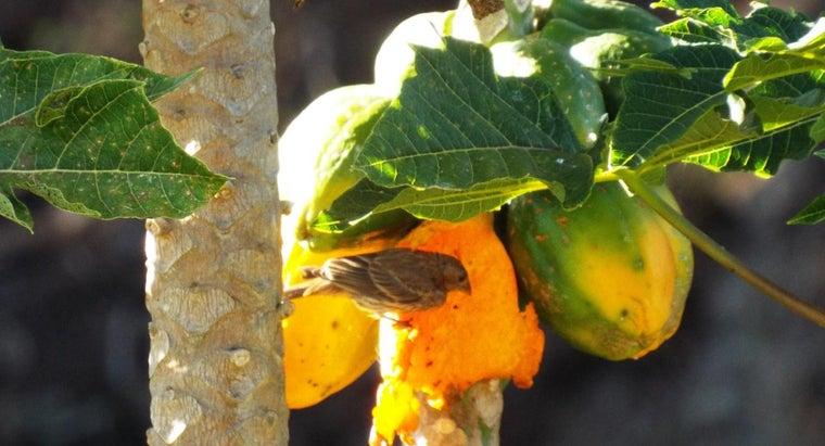 can-tell-papaya-ripe