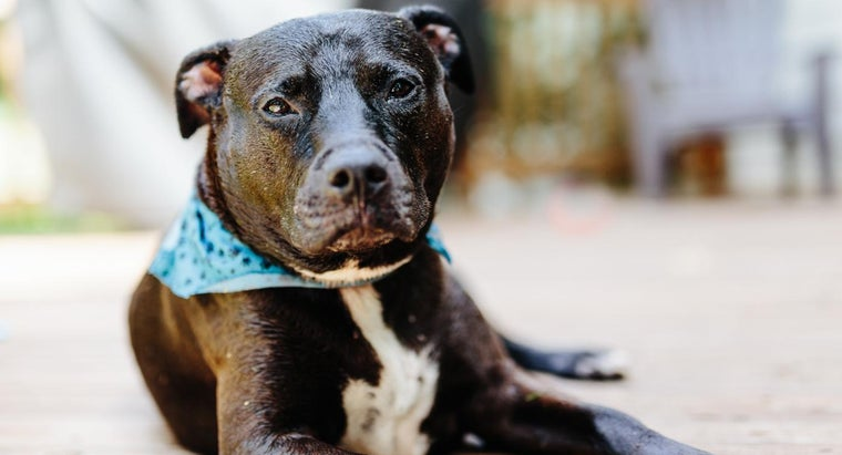 can-tell-pit-bull-full-blooded
