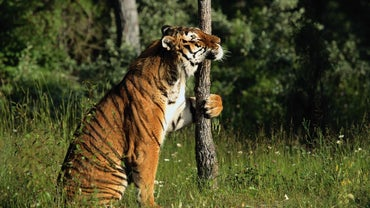 Can Tigers Climb Trees?