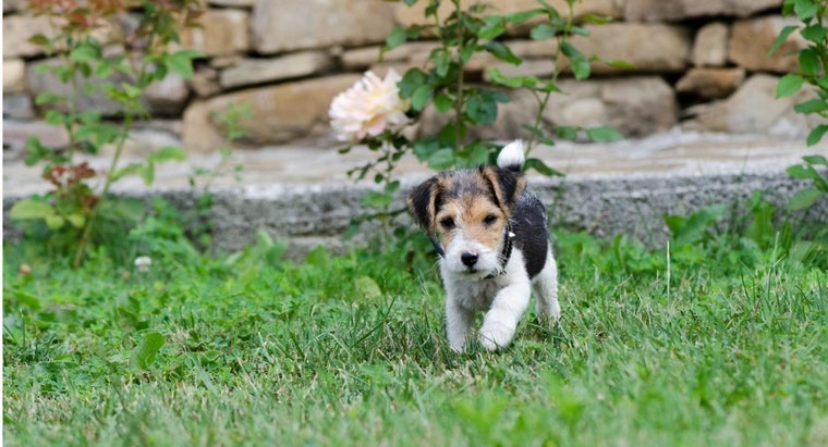 can-toy-fox-terrier-puppies-sale